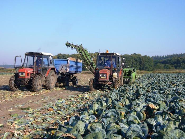 AGROSPOL Bolehošť, a. s. - Zelí sklizen